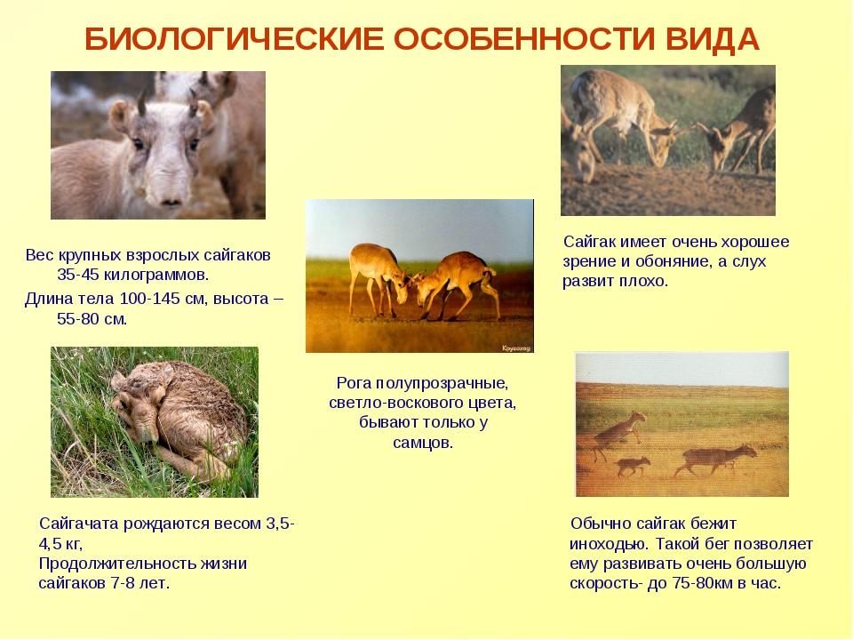 БИОЛОГИЧЕСКИЕ ОСОБЕННОСТИ ВИДА Вес крупных взрослых сайгаков 35-45 килограммо...
