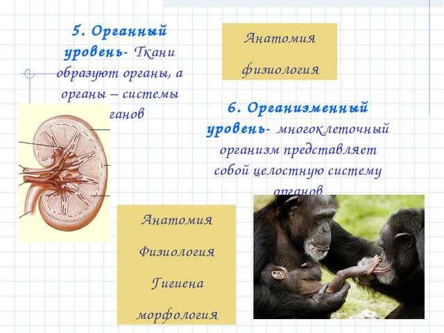 5. Органный уровень- Ткани образуют органы, а органы – системы органов Анатом...