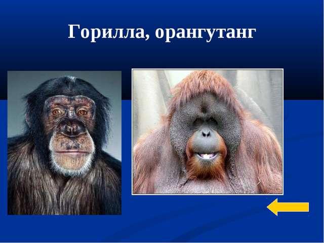 Горилла, орангутанг