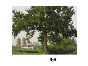 Дуб В пойме, на территории заказника, сохранились прекрасные дубовые и топол