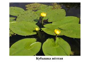 Кубышка жёлтая На реках Утва, Бурла, которые протекают по территории заказни