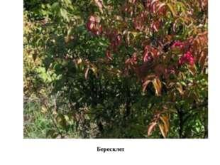 Бересклет Очень интересен растительный мир. Многие виды растений, занесенных