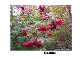 Калина Например: дуб черешчатый образует леса, а бересклет, калина, яблоня,