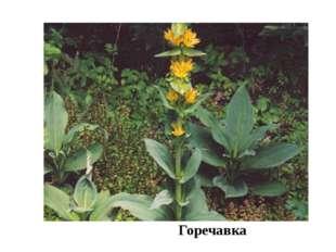 Горечавка Здесь обычны редкие в области виды растений: сныть,, двукисточник,