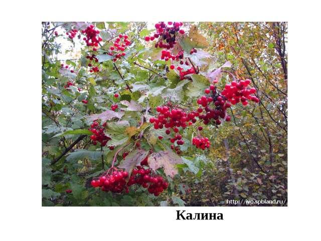 Калина Например: дуб черешчатый образует леса, а бересклет, калина, яблоня,...