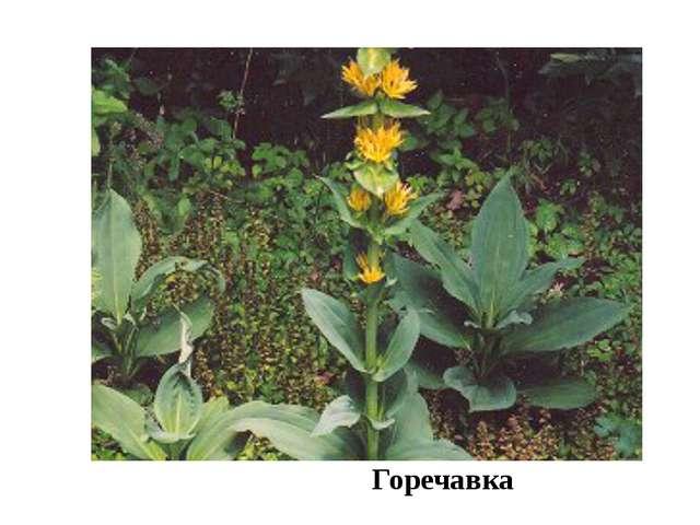 Горечавка Здесь обычны редкие в области виды растений: сныть,, двукисточник,...