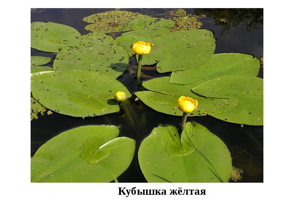 Кубышка жёлтая На реках Утва, Бурла, которые протекают по территории заказни...