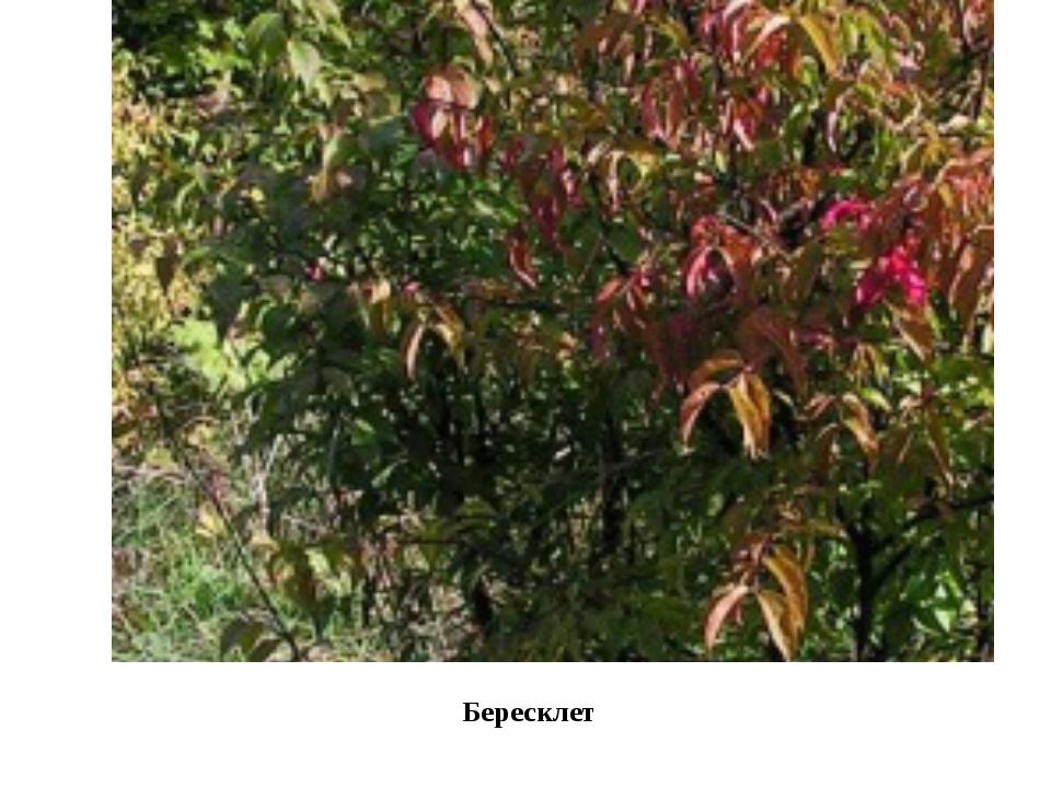 Бересклет Очень интересен растительный мир. Многие виды растений, занесенных...