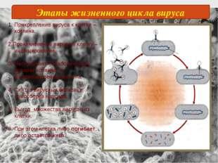 Этапы жизненного цикла вируса Прикрепление вируса к клетке –хозяина. 2.Проник