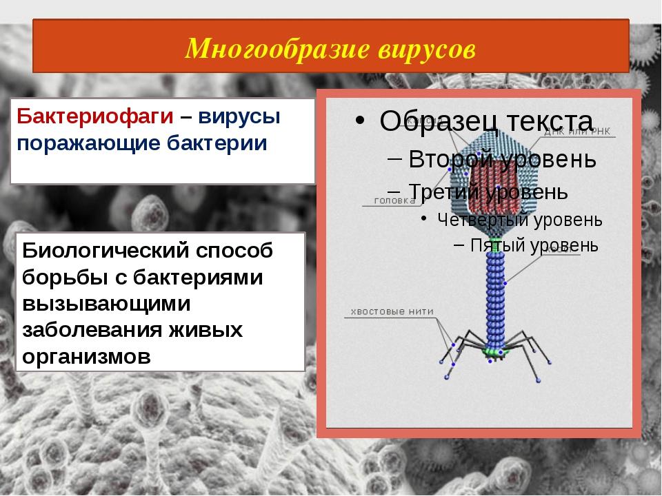 Многообразие вирусов Бактериофаги – вирусы поражающие бактерии Биологический...