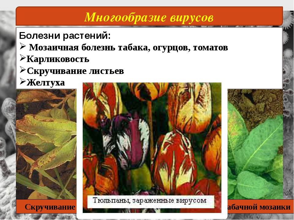 Многообразие вирусов Болезни растений: Мозаичная болезнь табака, огурцов, том...