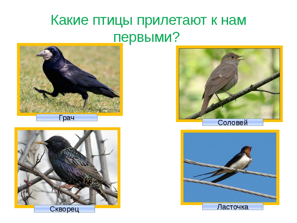 Какие птицы прилетают к нам первыми? Грач Соловей Скворец Ласточка