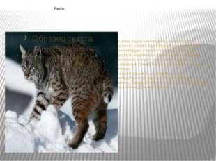 Рысь Крупная кошка. Имеет длину тела 82-105 см, короткий, словно обрубленный