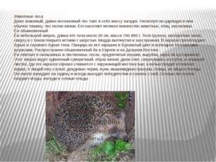 Животные леса Даже знакомый, давно исхоженный лес таит в себе массу загадок.