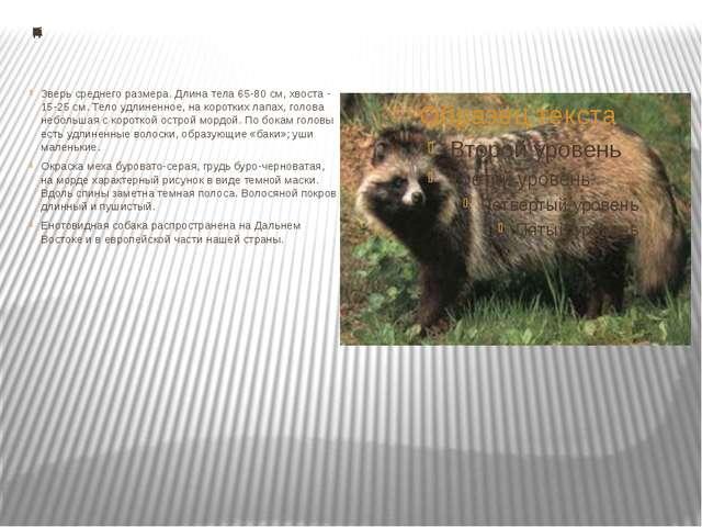 Енотовидная собака Зверь среднего размера. Длина тела 65-80 см, хвоста - 15-...