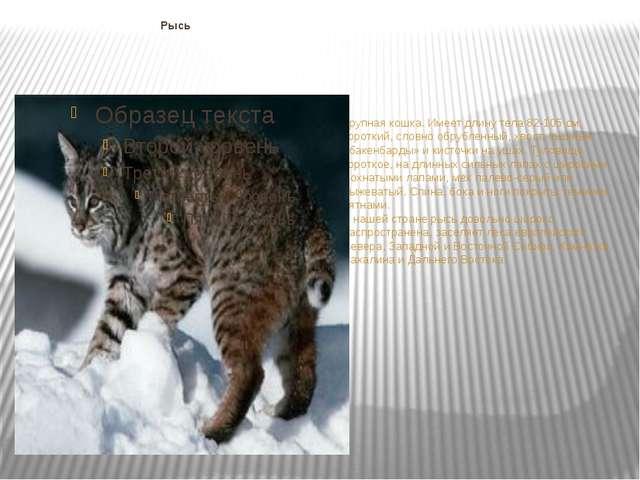 Рысь Крупная кошка. Имеет длину тела 82-105 см, короткий, словно обрубленный...