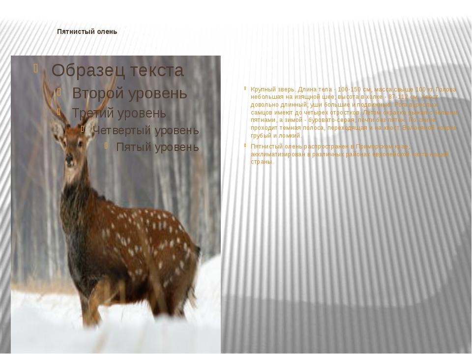 Пятнистый олень Крупный зверь. Длина тела - 100-150 см, масса свыше 100 кг....