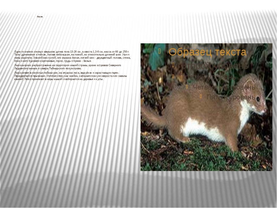 Ласка Один из мелких лесных зверьков: длина тела 13-26 см, а хвоста 1,3-6 см...