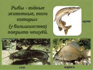 Рыбы - водные животные, тело которых (у большинства) покрыто чешуёй. щука сом