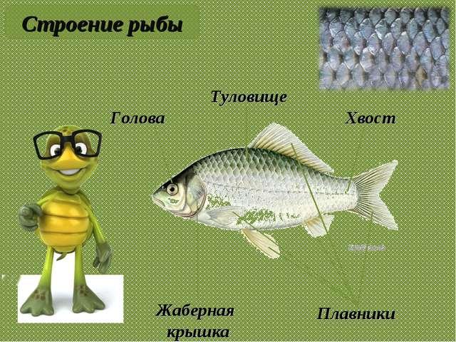 Туловище Голова Жаберная крышка Хвост Плавники Строение рыбы