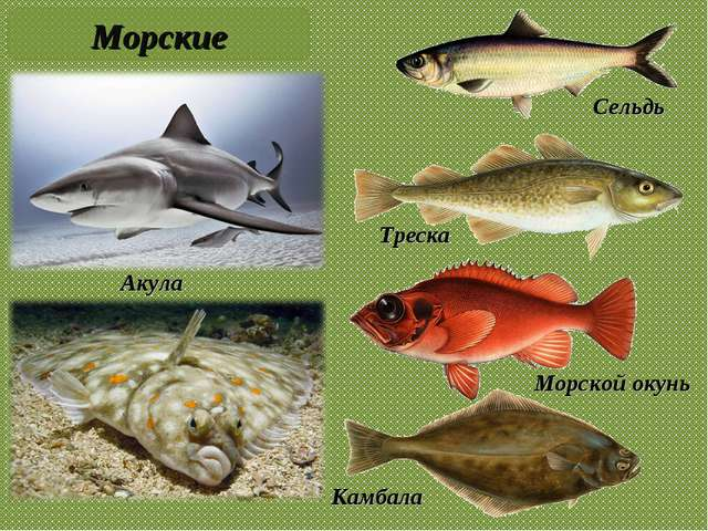 Акула Сельдь Камбала Треска Морские Морской окунь