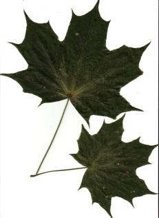 Изображение листьев клена. Фотохостинг - фотографии, картинк…