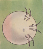 Рис. 10. Личинка с хитиновыми крючьями