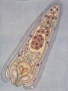 Рис. 3. Свободноплавающая личинка