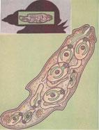 Рис. 4. Развитие личинки в теле малого прудовика