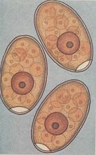 Рис. 2. Яйца печеночного сосальщика