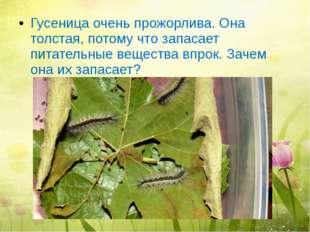 Гусеница очень прожорлива. Она толстая, потому что запасает питательные вещес