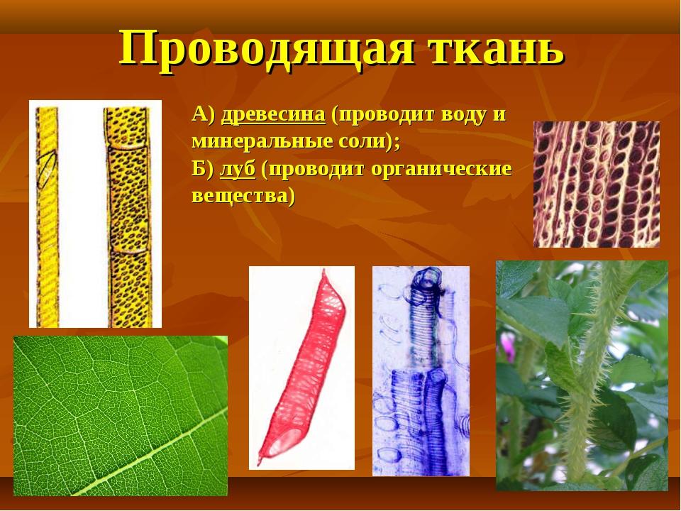 Проводящая ткань А) древесина (проводит воду и минеральные соли); Б) луб (про...