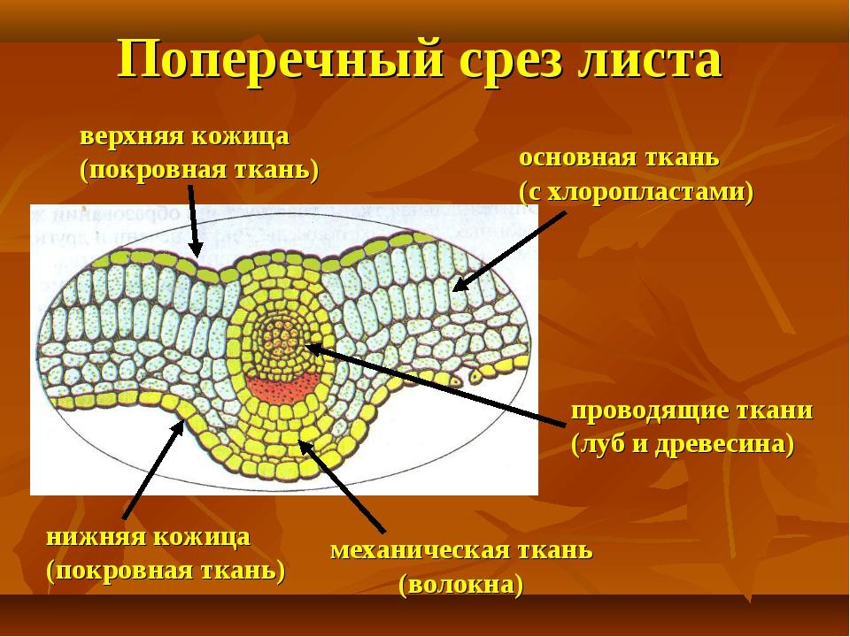 Поперечный срез листа нижняя кожица (покровная ткань) верхняя кожица (покровн...