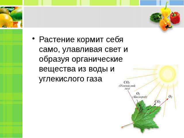 Растение кормит себя само, улавливая свет и образуя органические вещества из...