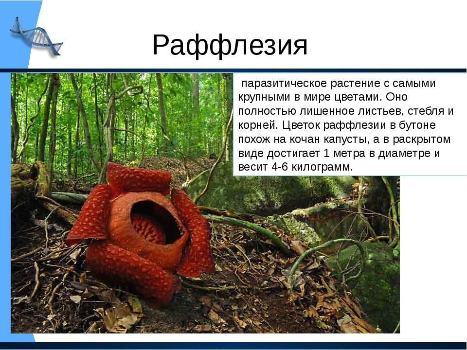 Раффлезия паразитическое растение с самыми крупными в мире цветами. Оно полн...