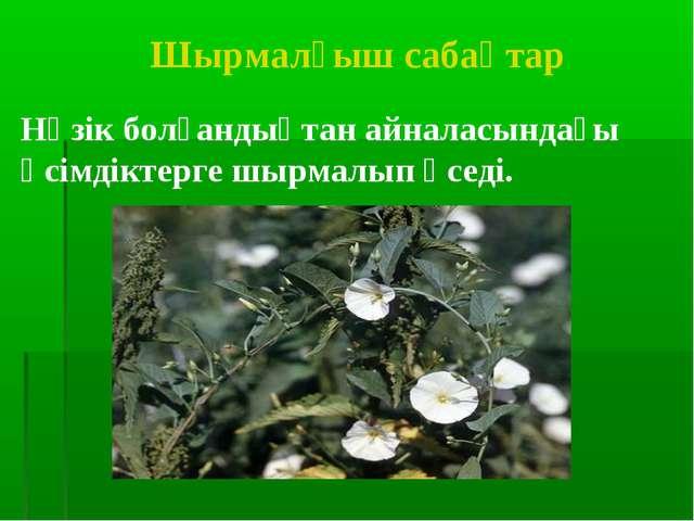 Шырмалғыш сабақтар Нәзік болғандықтан айналасындағы өсімдіктерге шырмалып өсе...