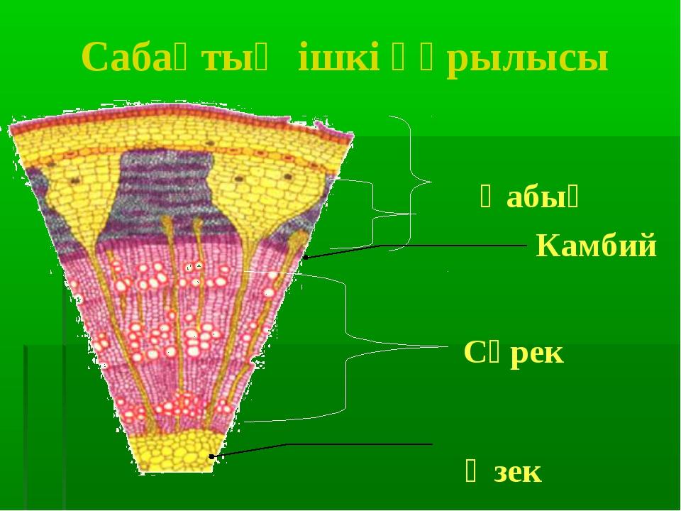 Сабақтың ішкі құрылысы Өзек Сүрек Қабық Камбий