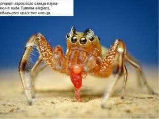 Портрет взрослого самца паука-скакуна вида Tutelina elegans, поедающего крас