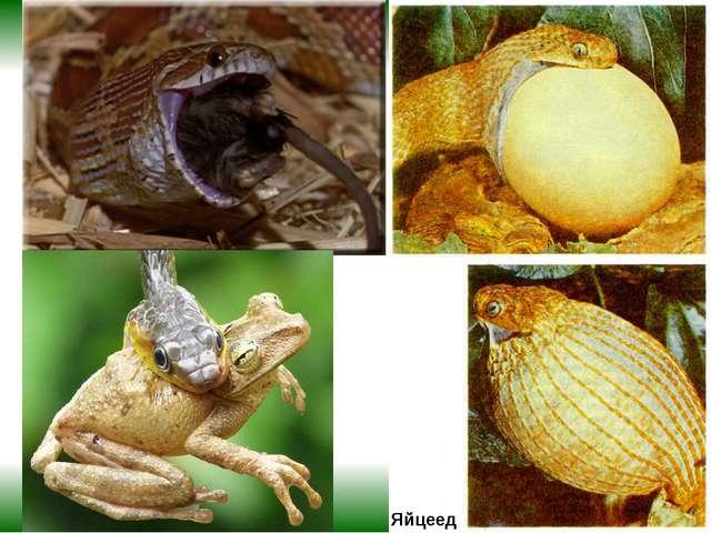 Яйцеед Пожалуй, самый необычный рацион у яичной змеи – она питается исключит...