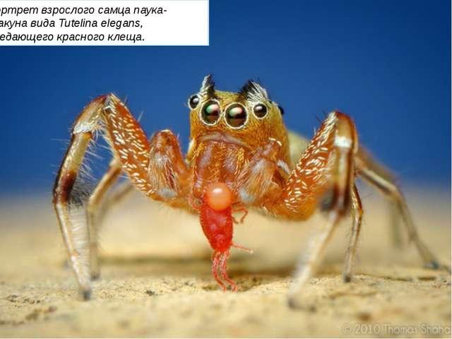 Портрет взрослого самца паука-скакуна вида Tutelina elegans, поедающего крас...