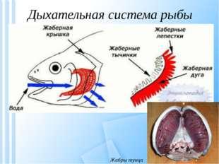 Дыхательная система рыбы Жабры тунца