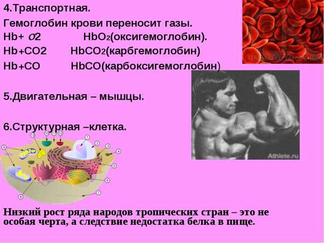 4.Транспортная. Гемоглобин крови переносит газы. Hb+ О2 HbО2(оксигемоглобин)....