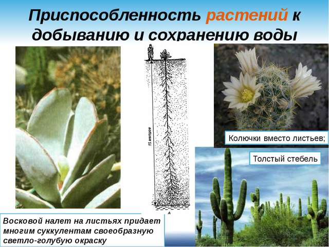 Приспособленность растений к добыванию и сохранению воды Восковой налет на ли...