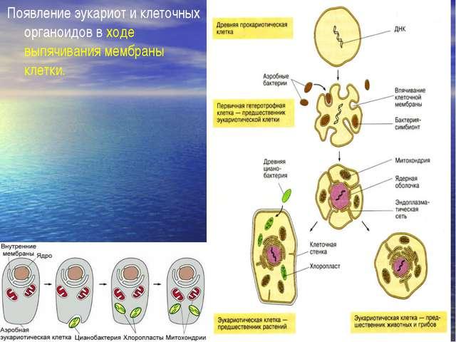 Появление эукариот и клеточных органоидов в ходе выпячивания мембраны клетки.