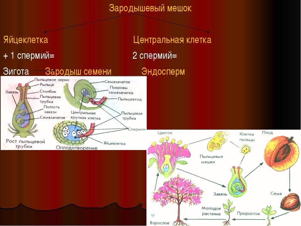 Зародышевый мешок Яйцеклетка Центральная клетка + 1 спермий= 2 спермий= Зигот...