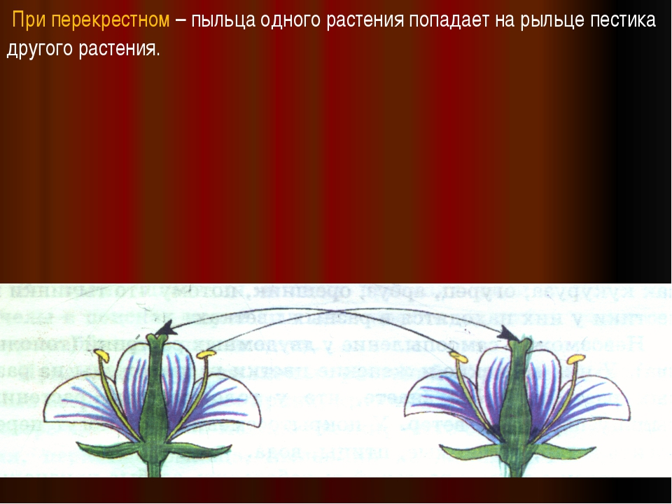 При перекрестном – пыльца одного растения попадает на рыльце пестика другого...