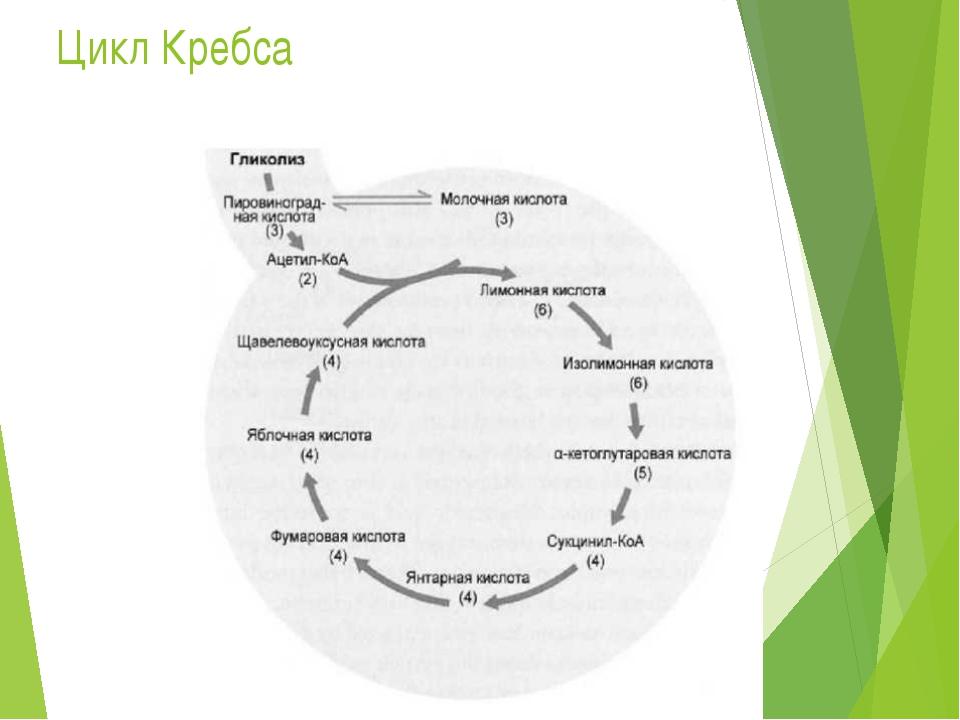 Цикл Кребса