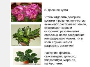 5. Деление куста Чтобы отделить дочерние кустики и розетки, полностью вынимаю