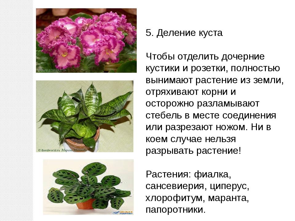 5. Деление куста Чтобы отделить дочерние кустики и розетки, полностью вынимаю...