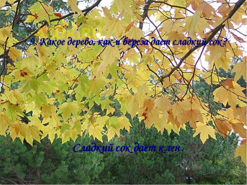 9. Какое дерево, как и береза дает сладкий сок? Сладкий сок дает клен.